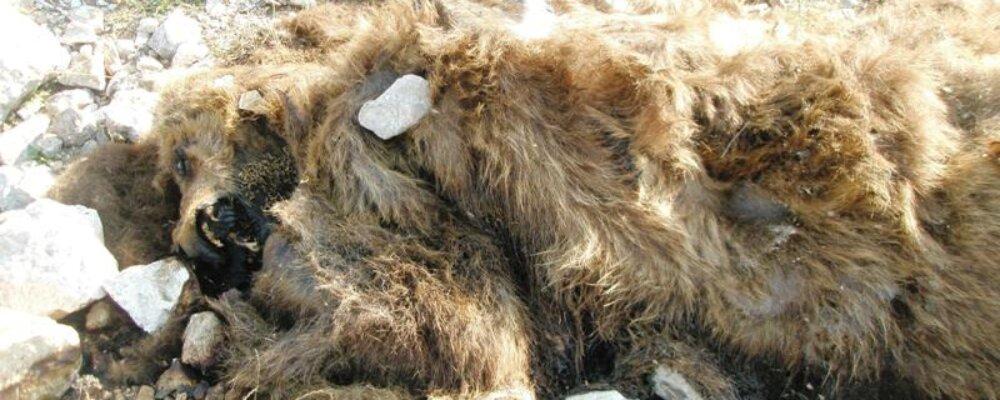 Δολοφονήθηκε αρκούδα στη Ράμια.