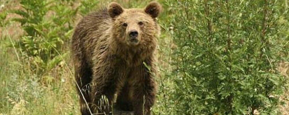 Σοβαρές ζημιές σε μελίσσια από αρκούδα στα Θεοδώριανα.